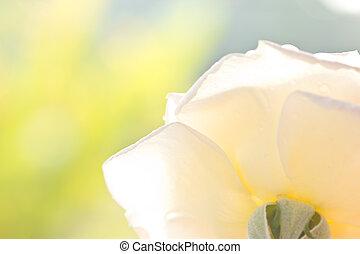 blanco, rosa