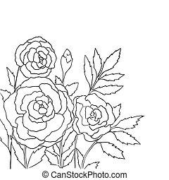 blanco, rosas, aislado, hermoso