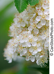 blanco, rowan, flores, primer plano
