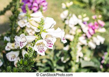blanco, salvia, flores