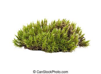 blanco, sphagnum, moss., verde, natural, aislado
