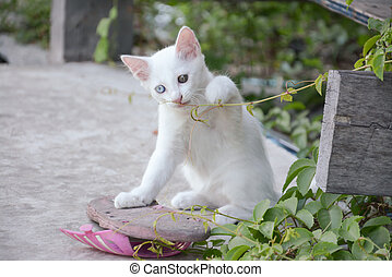 blanco, tailandés, gatito