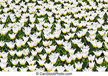 blanco, tulipanes