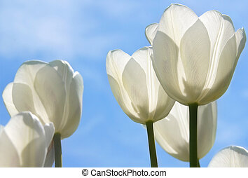 blanco, tulipanes, campo