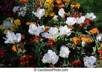 blanco, tulipanes, en, el, park., primavera, paisaje.