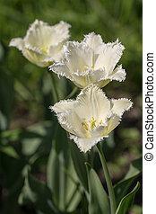 blanco, tulipanes, en, el, primavera