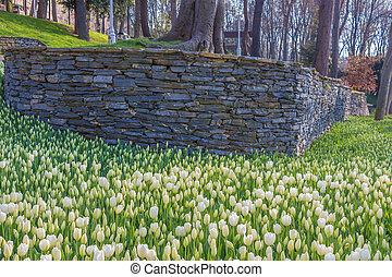blanco, tulipanes, en, jardín, con, pared de piedra