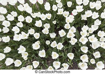 blanco, tulipanes, en, jardín, vistos, desde arriba