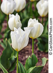 blanco, tulipanes, en, primavera