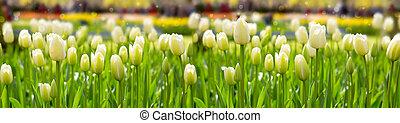 blanco, tulipanes, fondo.