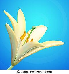 blanco, vector, lirio, flor, ilustración
