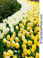 blanco y amarillo, tulipanes, en, el, primavera, garden.