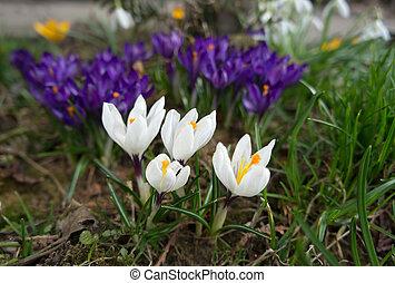 blanco, y, lila, azafranes, en, primavera, garden.
