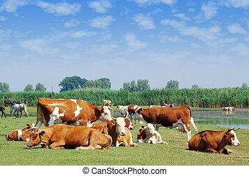 blanco, y, marrón, vacas, en, pasto