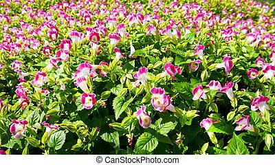 blanco, y, rosa florece, campo, plano de fondo