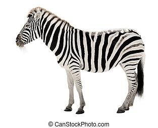 blanco, zebra, plano de fondo, magnífico