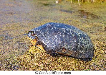 Blandings Turtle (Emydoidea blandingii) basking on...