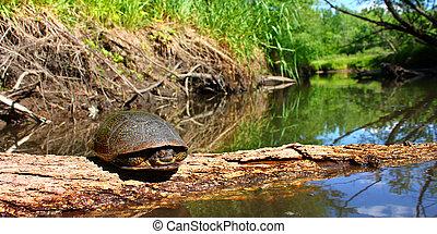 Blandings Turtle Illinois Stream