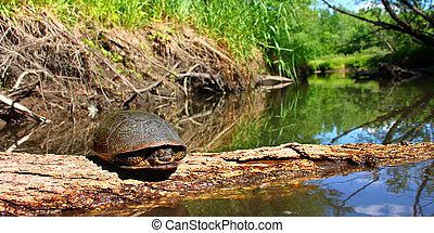 Blandings Turtle Illinois Stream