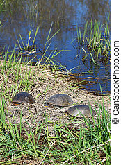 Blandings Turtles Basking