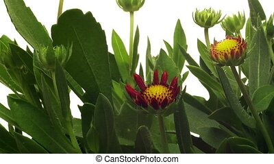 Blanket Flower Time-lapse - Time-lapse of blanket...