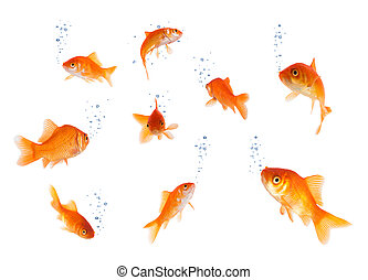 blasen, freigestellt, goldfische