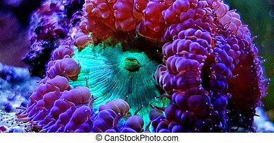 Blastomussa wellsi - Big Polyp Blastomussa LPS Coral