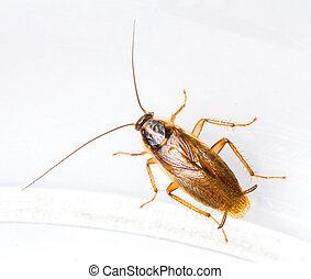 blattella, alemán, germanica, cucaracha