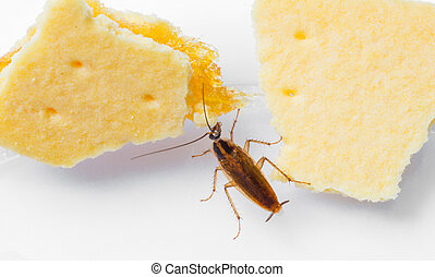 Blattella germanica german cockroach