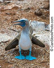 blau-bezahlter booby
