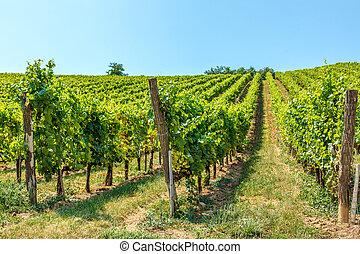 Blauburger grapes in a vineyard in Hungary
