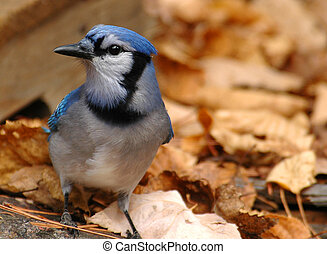 blauer eichelhäher