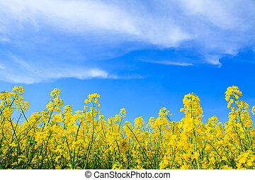 blauer himmel, gelber , oilseed, feld, raps