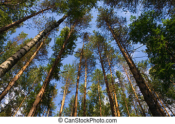 blauer himmel, kiefer, gegen, bäume, oben, groß