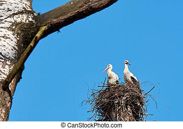 blauer himmel, nest, baum, zwei, storks., day., zweig, groß,...