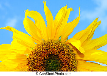 blauer himmel, sonnenblume