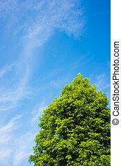 blauer himmel, und, baum, von, metasequoia