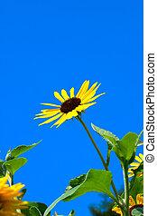blauer himmel, und, sonnenblume, in, sommer