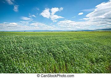 blauer himmel, weizen, grünes feld
