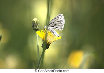 Schmetterling - Blauer Schmetterling auf gelber Blume.