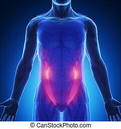 blaues, abdominal, schief, -, koerperbau, extern, muskel