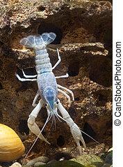 blaues, crayfish