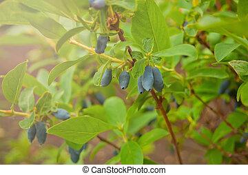 blaues, edulis., noch ein, honeyberry, name, geißblatt, auch...