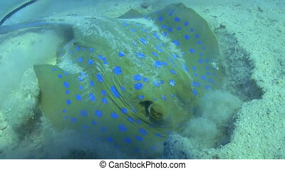 blaues, fleckig, koralle riff, unter, stachelrochen
