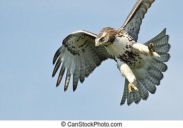 blaues, fliegendes, himmelsgewölbe, tailed, unreif, falke, ...