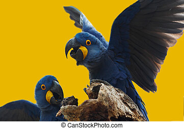blaues, hyazinth macaw, pantanal, brasilien, wild