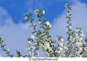 blaues, kirschen, blühen, baum, gegen, dunkel, fruehjahr, himmelsgewölbe