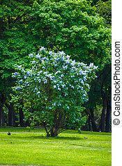 blaues, lila busch