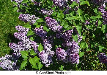 blaues, lila, bush.