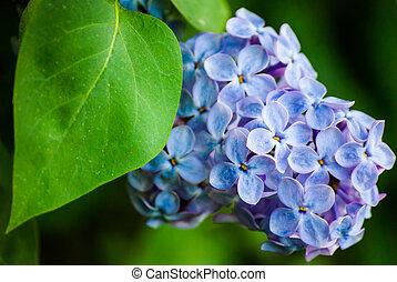 blaues, lila, in, grüne blätter